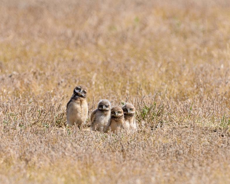 Burrowing Owl (Athene cunicularia) Chicks, Badlands National Park, South Dakota