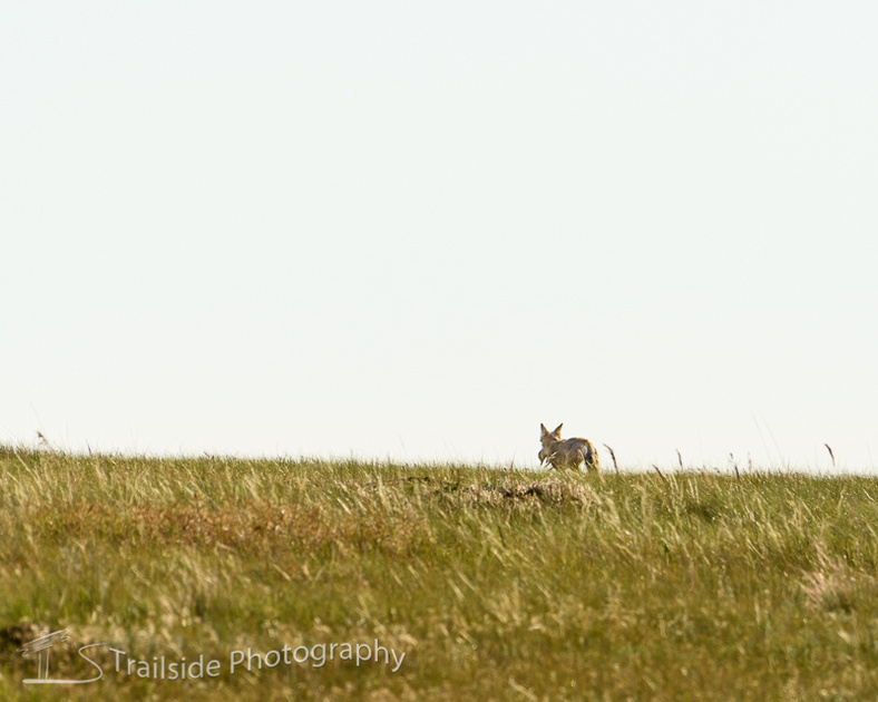 Coyote preys on prairie dog
