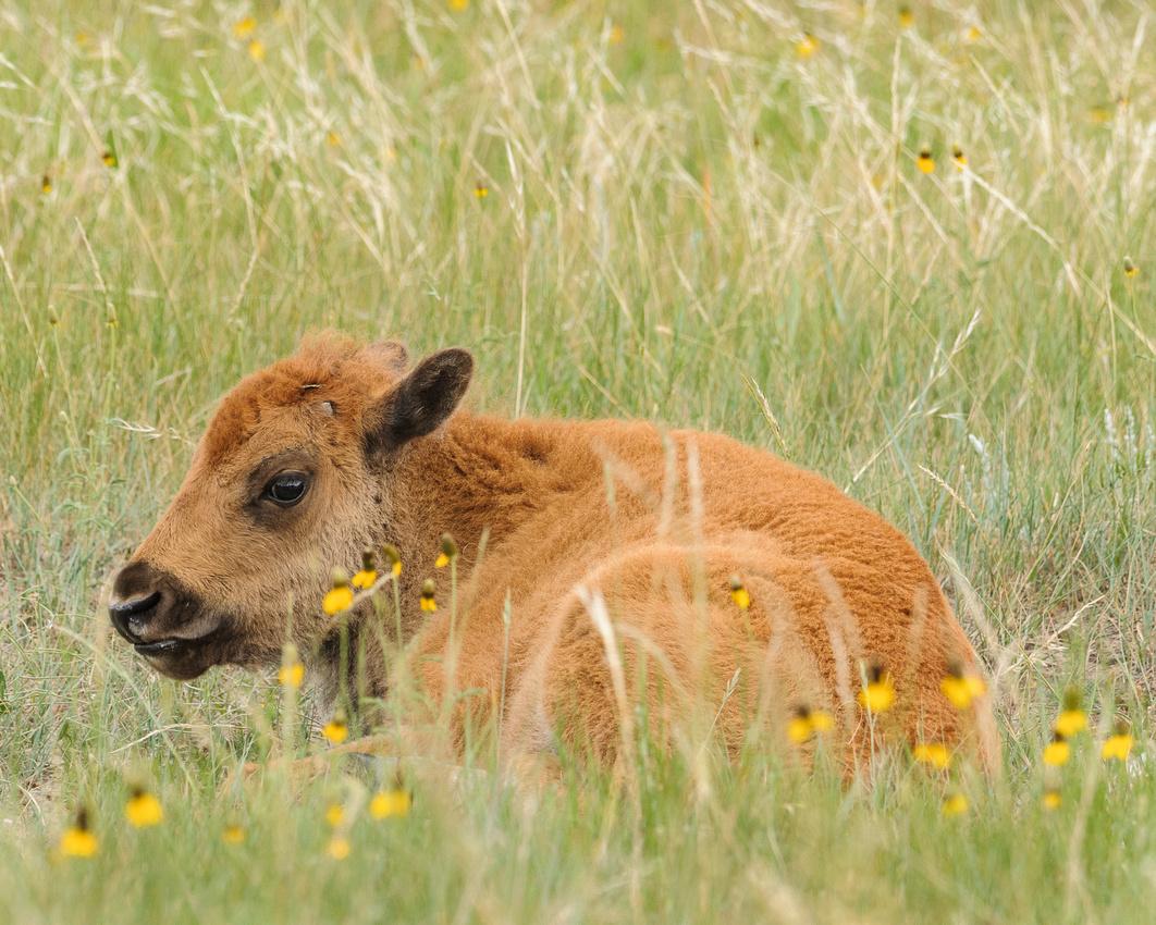 Bison Calf, Theodore Roosevelt National Park