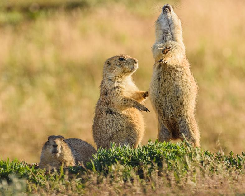 Prairie Dogs (Cynomys ludovicianus) Jump-Yip, Badlands National Park, South Dakota