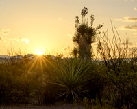 Sunrise at Ocotillo Grove, Big Bend National Park