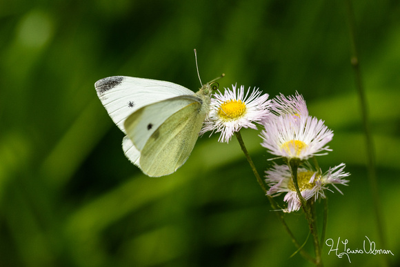 Cabbage White (Pieris rapar), Mohican State Park, Ohio